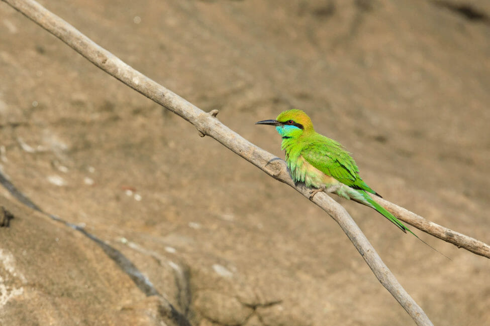 A Green Bee-Eater Bird Perches On A Branch