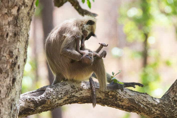 A Grey Langur Monkey Sits On A Branch While Holding Its Baby