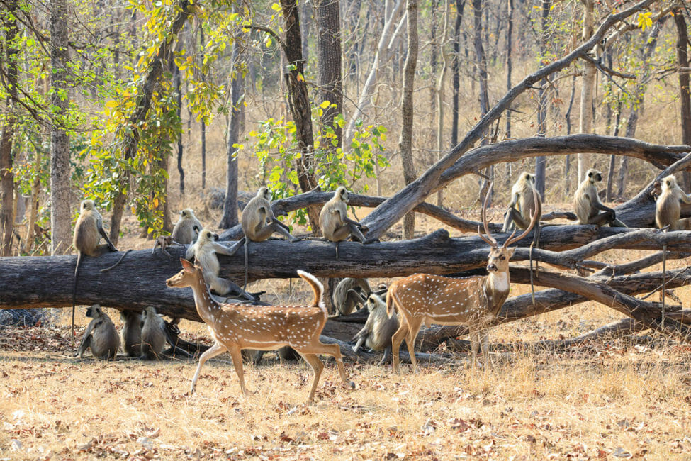Chital Deer and Grey Langur Monkeys Gather At A Fallen Tree In The Madhya Pradesh Wilderness