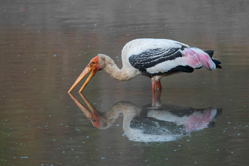 A Painted Stork Takes A Quick Drink While Wading In The Water