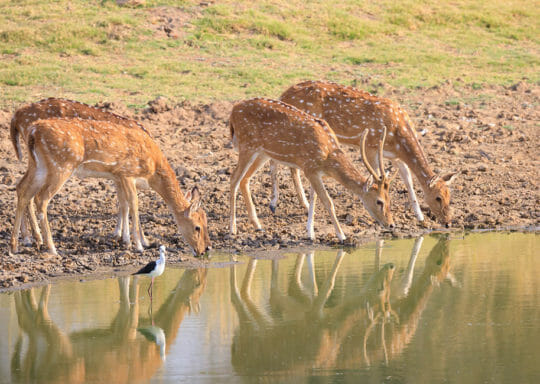 deer drinking water from the lake