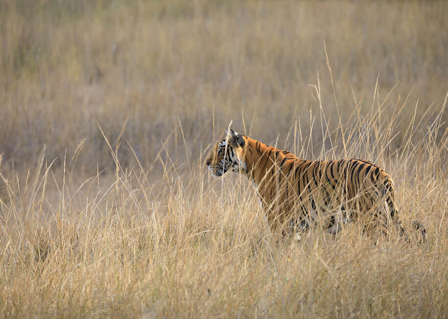 tiger in the tall grass