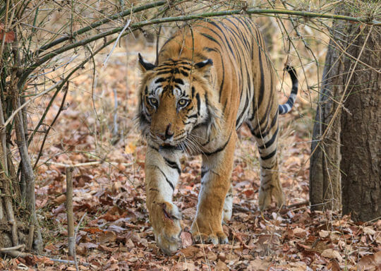 A Tiger With A Scarred Nose Stalks Through A Forest In Northern India