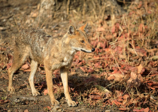 A Wild Dog Is Seen Close-Up As It Moves Through A Game Preserve In Northern India