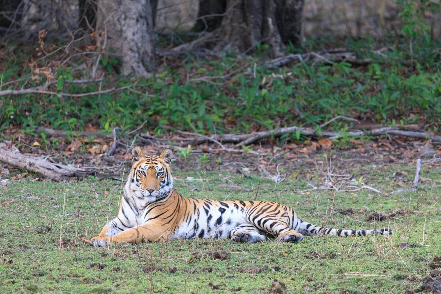 A Tiger Lays In Repose In An Open Field In An Indian Game Preserve