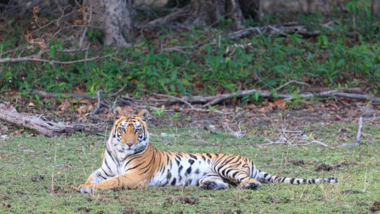 tiger laying on the grass