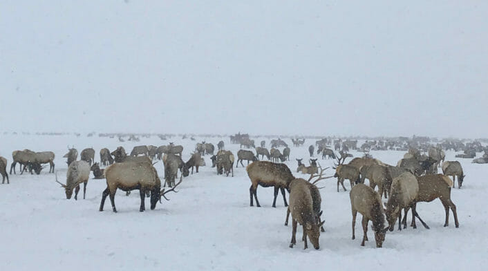 An Elk Herd Attempts To Forage During A Snowstorm In The National Elk Refuge