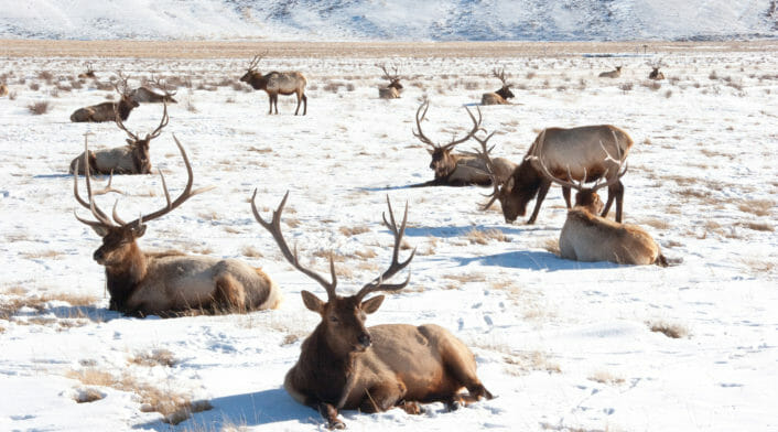 A Cluster Of Bull Elk Relax And Graze In Winter Sunshine In The National Elk Refuge Near Jackson Hole