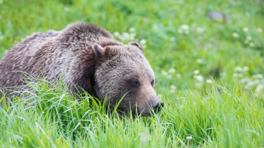 A Grizzly Bear Walks In The Tall Grasses In Yellowstone National Park
