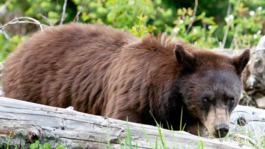 A Brown Colored Black Bear Is Spotted Looking For Grubs Among Downed Logs Grand Teton National Park