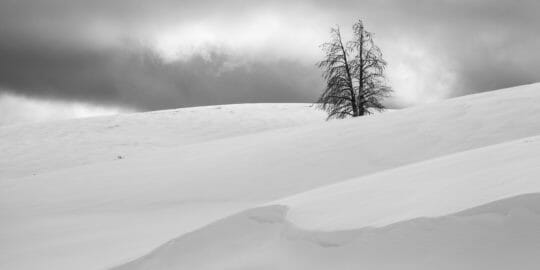 A Lone Tree Accentuates A Black And White Winter Landscape In Yellowstone National Park