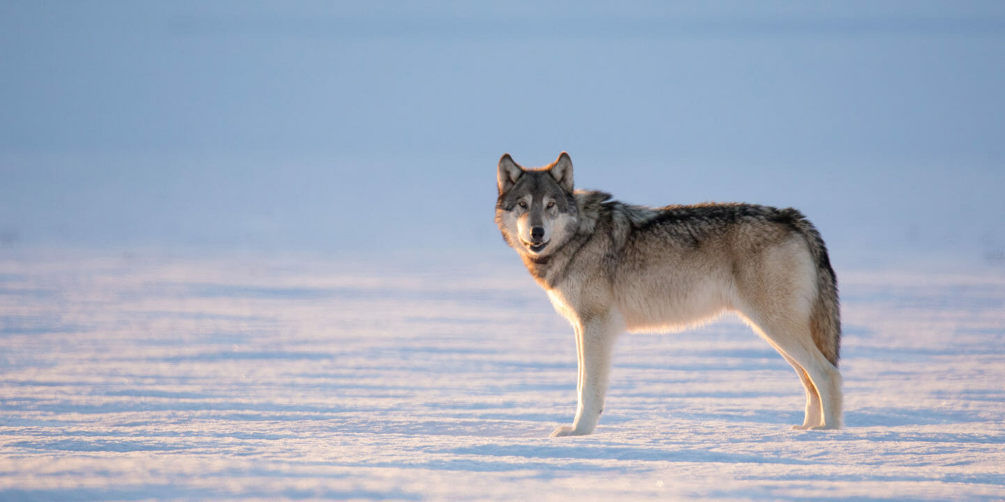 A Lone Gray Wolf Stands Out On An Iced Lake In Yellowstone National Park