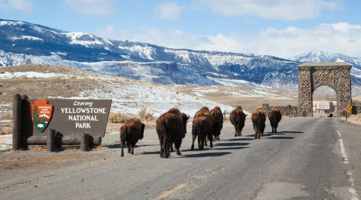 Bison Slowly Walk Along The Road At The Northern Entrance To Yellowstone National Park