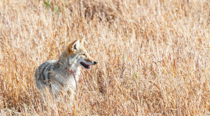A Coyote Stands In Tall Brown Grasses In Yellowstone National Park