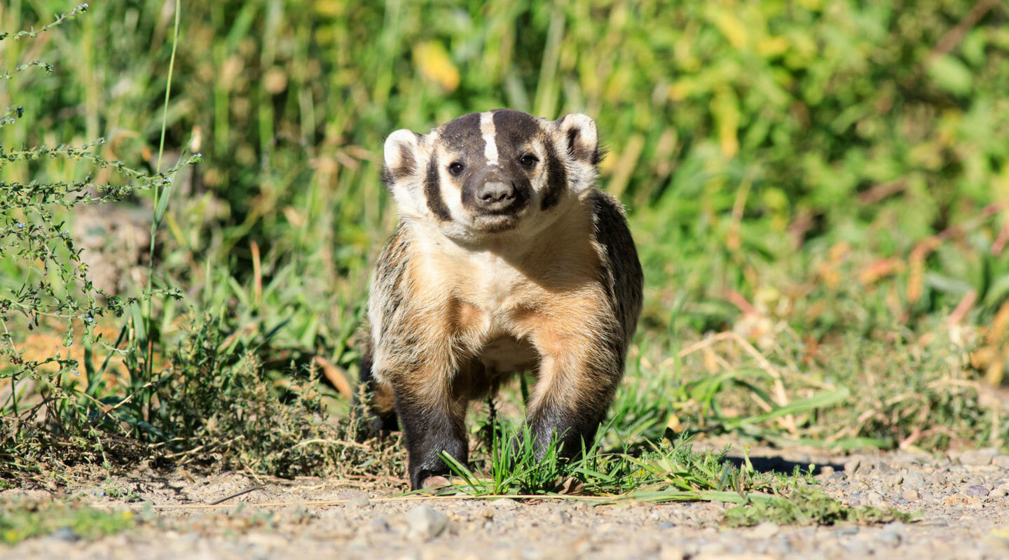 A Badger Is Seen On Safari In Grand Teton National Park