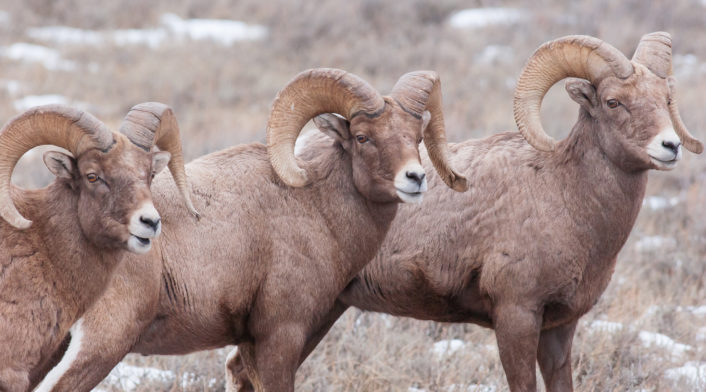 Three Bighorn Sheep Rams Stand At Attention In The Winter Home In The National Elk Refuge