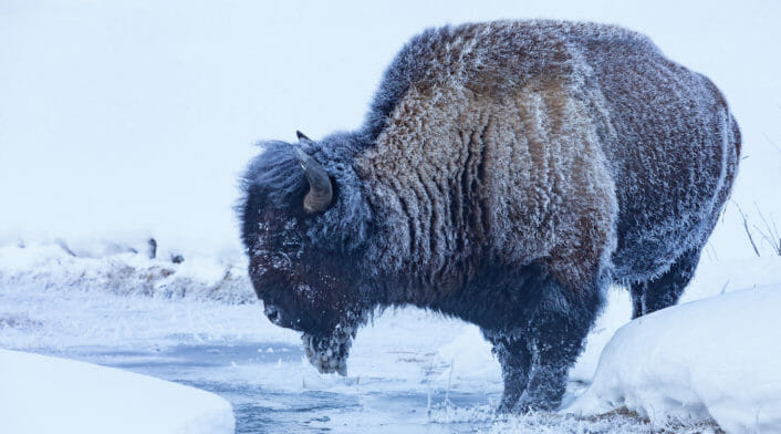 A Completely Frosted Male Bison Leans Over An Icy Stream For A Drink Deep In Yellowstone's Winter