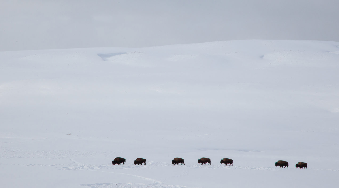A Small Herd Of Bison Seen In Profile As They Move Across A White Plain During Winter In Yellowstone