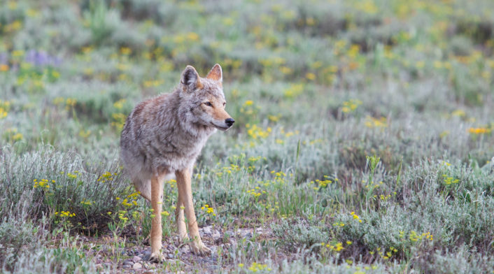 A Coyote Stands In A Field Of Sage And Summer Flowers In Grand Teton National Park