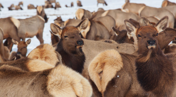Cow Elk Cluster Together For The Winter On The National Elk Refuge In Jackson Hole