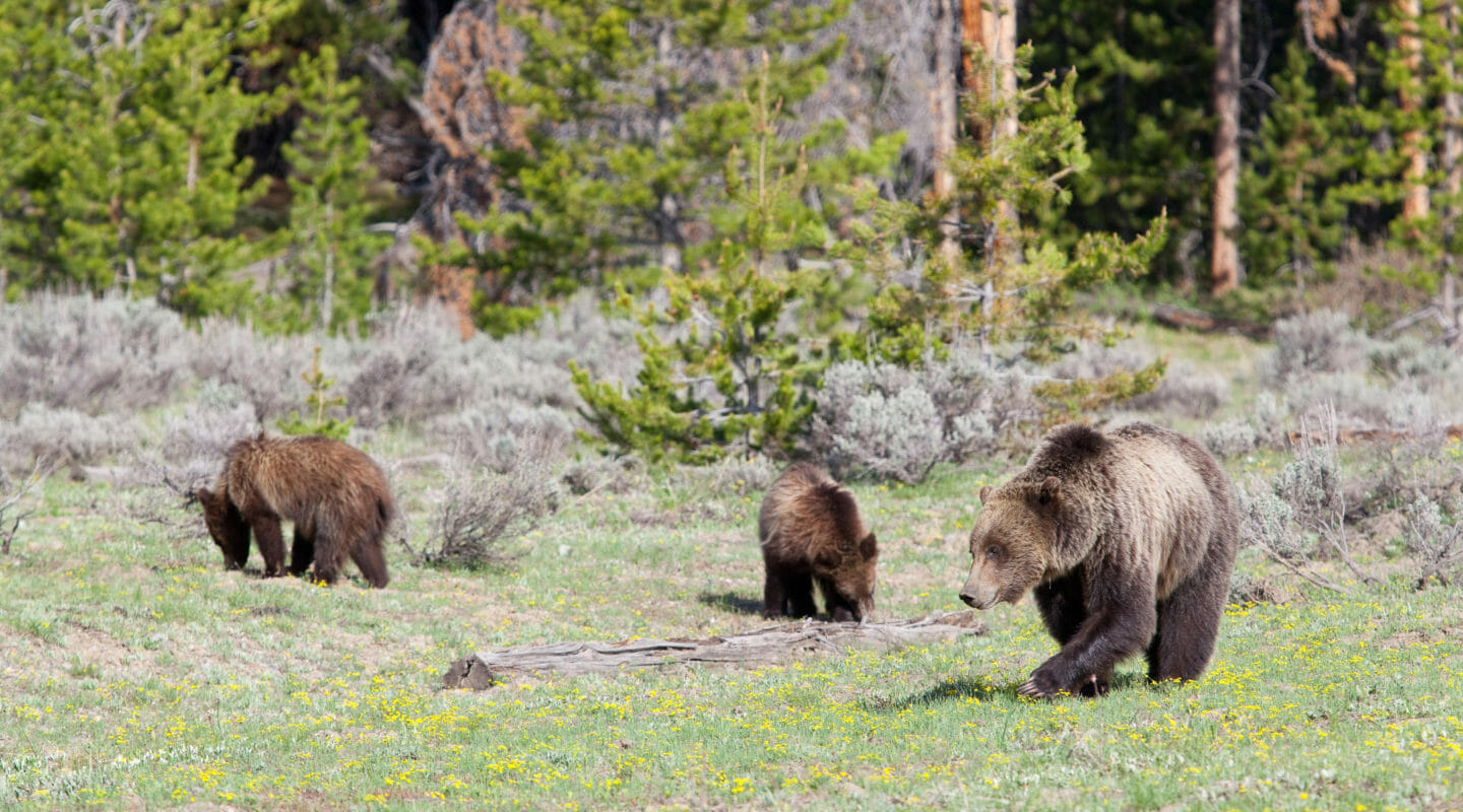 A Grizzly Sow and Two Cubs Make Their Way Across A Grassy Field In The Grand Teton National Park