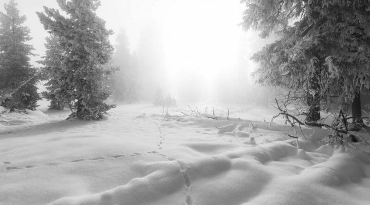 Several Sets Of Animal Tracks Grace The Deep Snow Of Yellowstone National Park