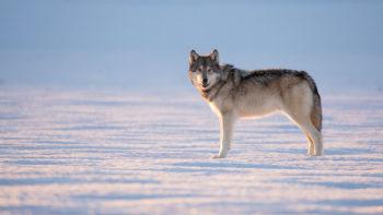 Winter Wolves Jackson Hole