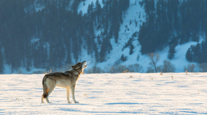 A Wolf Stands And Howls Against A Wintry Backdrop In Yellowstone National Park