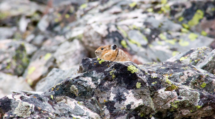 A Pika Peeks Over A Ledge On A Rocky Outcropping In Grand Teton National Park