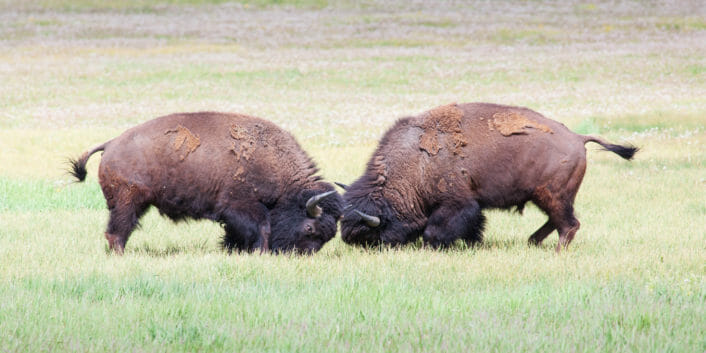 Two Bison Spar Head To Head In Yellowstone National Park
