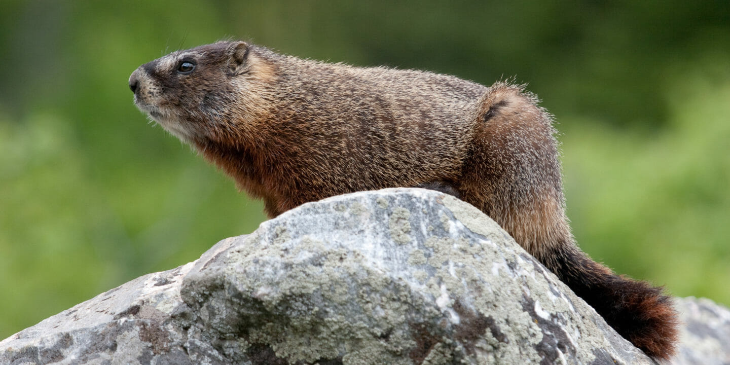 Close up of a Marmot surveying its territory from a boulder in Grand Teton National Park