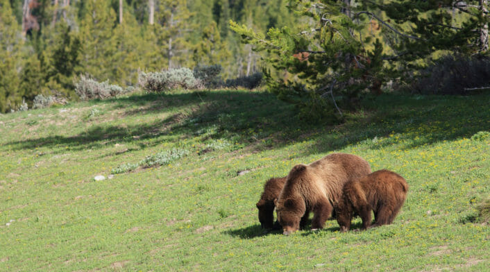 A Famous Grizzly Mother Teaches Her Two Yearling Cubs To Forage On Biscuitroot In Grand Teton National Park