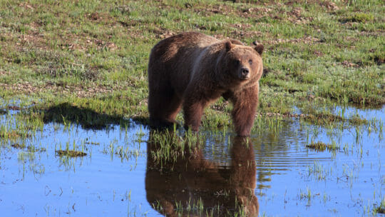 Grizzly Bear 399, Known As The Matriarch, Stands At The Water's Edge In Grand Teton National Park