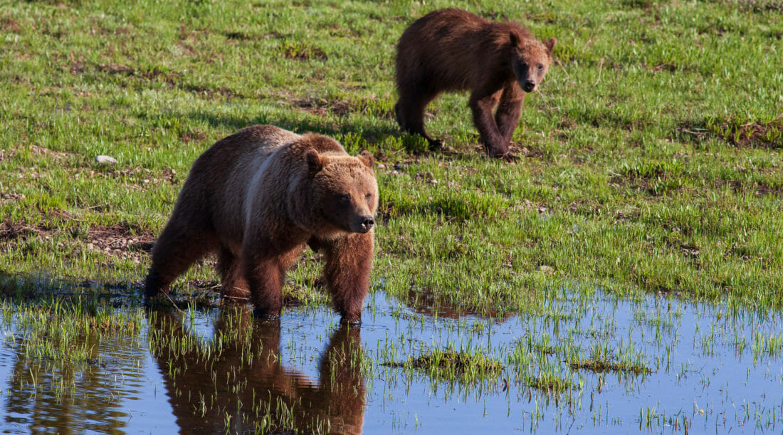Grizzly Bear 399 Stands At The Water's Edge In Grand Teton National Park With One Of Her Cubs By Her Side