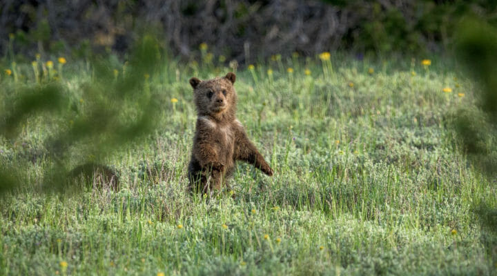 A Grizzly Bear Cub Surveys It's Surroundings In A Field In Grand Teton National Park