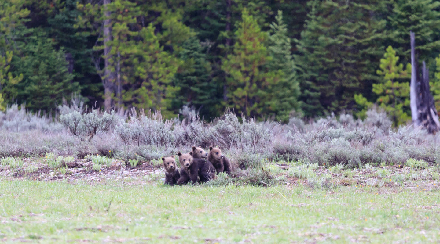 Four Bear Cubs Huddle Together While They Wait For Their Mother, Bear 399 To Emerge From The Forest In Grand Teton National Park