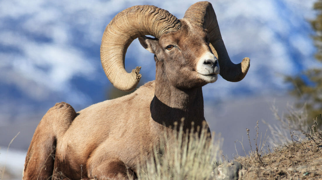A Bighorn Sheep Lays Down For A Brief Rest On A Sparse Hillside In the Greater Yellowstone Ecosystem