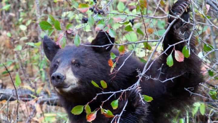 A Black Bear Picks Fruit From A Western Service Berry Bush
