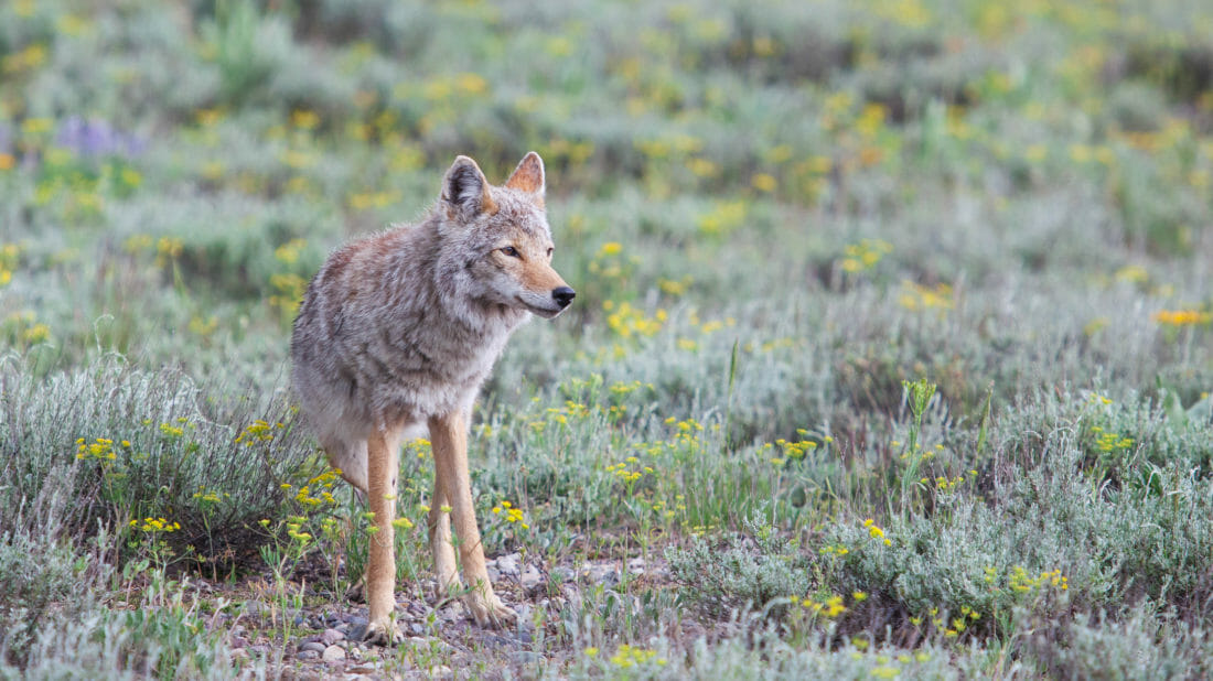 A Coyote Is Seen In A Green Meadow In Grand Teton National Park