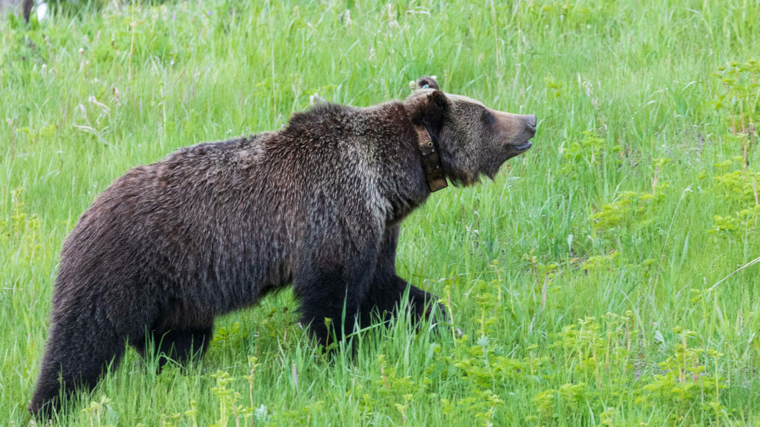 A Collared Grizzly Bear Wanders Through Lush Greenery In Grand Teton National Park