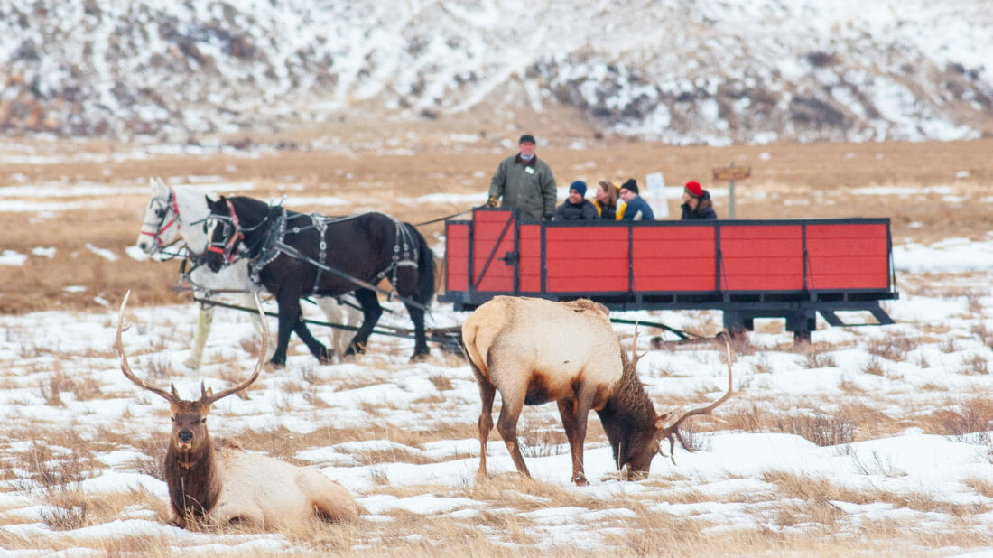 A Horse Drawn Sleigh Travels Through The Snow Covered Grounds Of The National Elk Refuge In Jackson Hole Wyoming