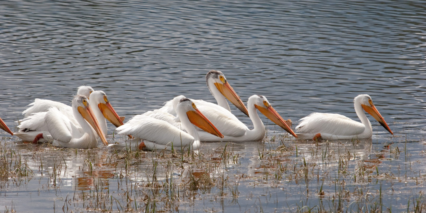 A Group Of American White Pelicans Travel Together Along A Waterway In The Greater Yellowstone Ecosystem